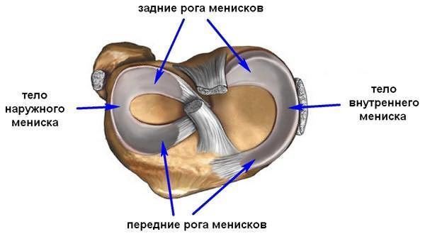 Строение мениска напоминает полукольцо, он имеет передний рог, тело, и задний рог.