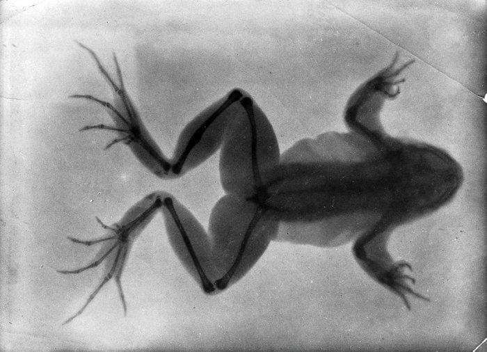 На рентгенограмме 1896 года видна лягушка со сросшейся сломанной костью (утолщение на задней лапке сверху).   Фото: wellcomeimages.org. Источник: http://www.kulturologia.ru/blogs/241017/36433/