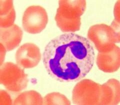 Neutrophil white blood cell or leukocyte. LM X1500.