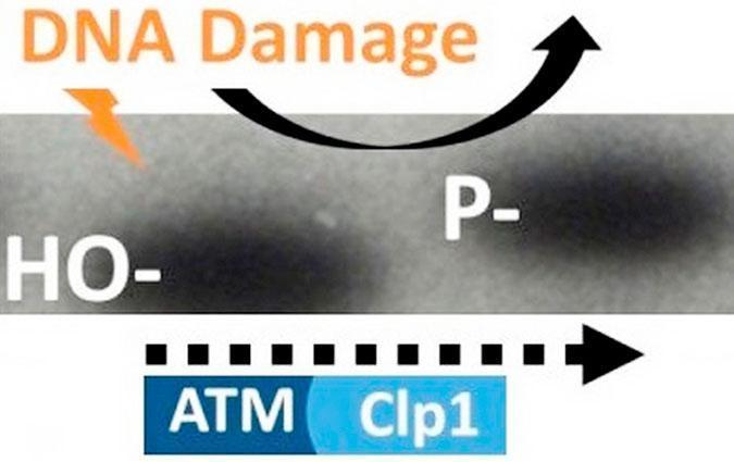 Ученые обнаружили, что повреждение ДНК, вызванное облучением (воздействием радиации) активирует микроРНК.