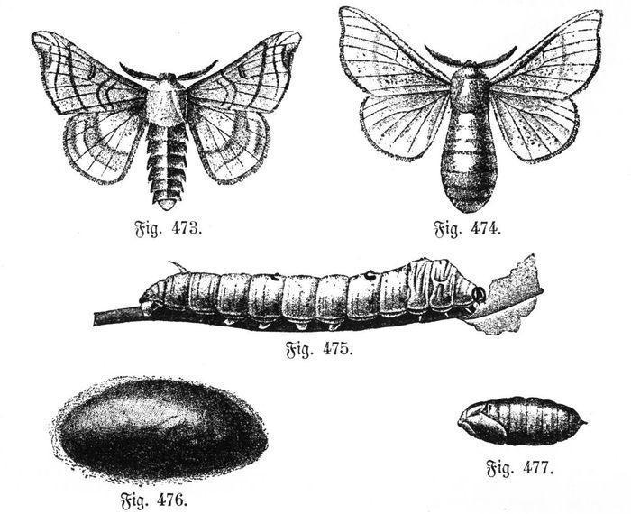 Bombyx mori или тутовый шелкопряд