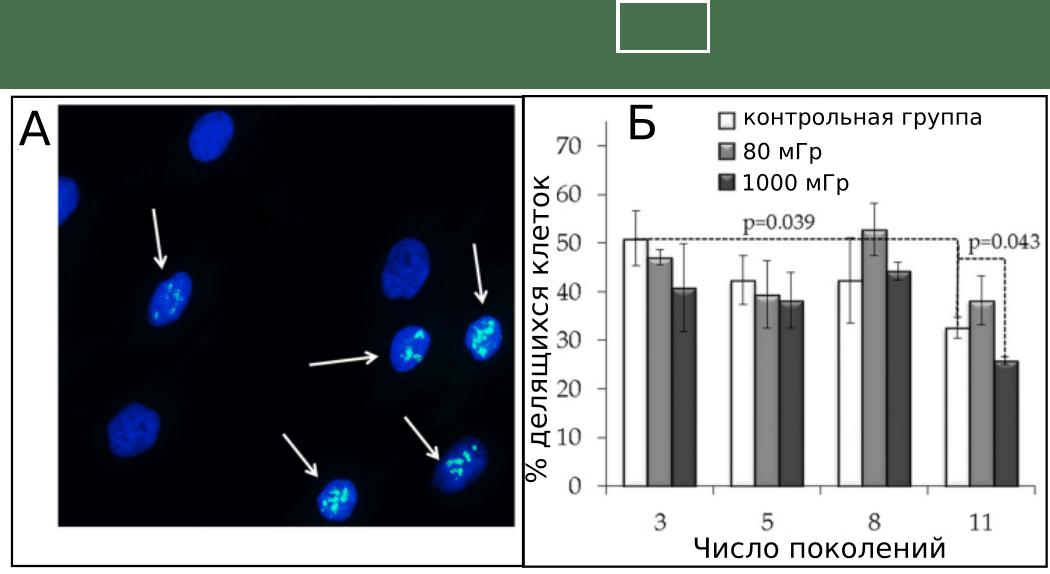 стрелками обозначены делящиеся клетки, меченные флуоресцентными красителями и имеющие повреждения -  двойные разрывы ДНК;  Б) зависимость количества делящихся клеток контрольной группы и клеток, облученных дозами в 80 мГр и 1000 мГр в течении 11 поколений.