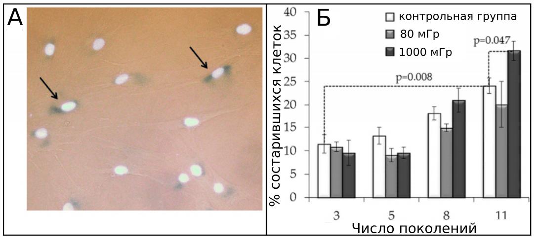 стрелками отмечены стареющие клетки, меченные красителями (синим - цитоплазма, белым - клеточные ядра); Б) количество состарившихся клеток контрольной группы и клеток, облученных дозами в 80 мГр и 1000 мГр в течении 11 поколений.